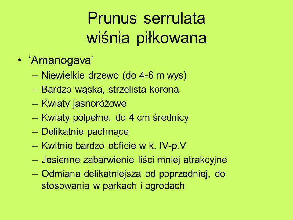 Prunus serrulata wiśnia piłkowana Amanogava –Niewielkie drzewo (do 4-6 m wys) –Bardzo wąska, strzelista korona –Kwiaty jasnoróżowe –Kwiaty półpełne, d
