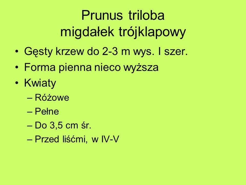 Prunus triloba migdałek trójklapowy Gęsty krzew do 2-3 m wys. I szer. Forma pienna nieco wyższa Kwiaty –Różowe –Pełne –Do 3,5 cm śr. –Przed liśćmi, w