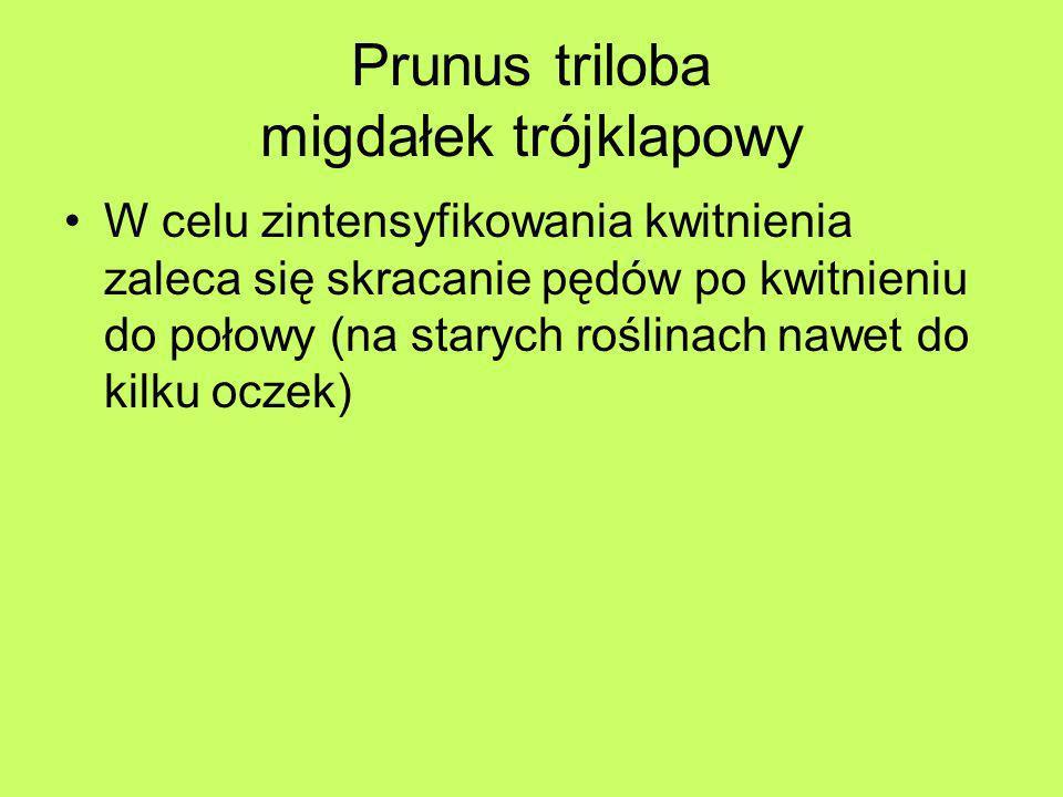 Prunus triloba migdałek trójklapowy W celu zintensyfikowania kwitnienia zaleca się skracanie pędów po kwitnieniu do połowy (na starych roślinach nawet