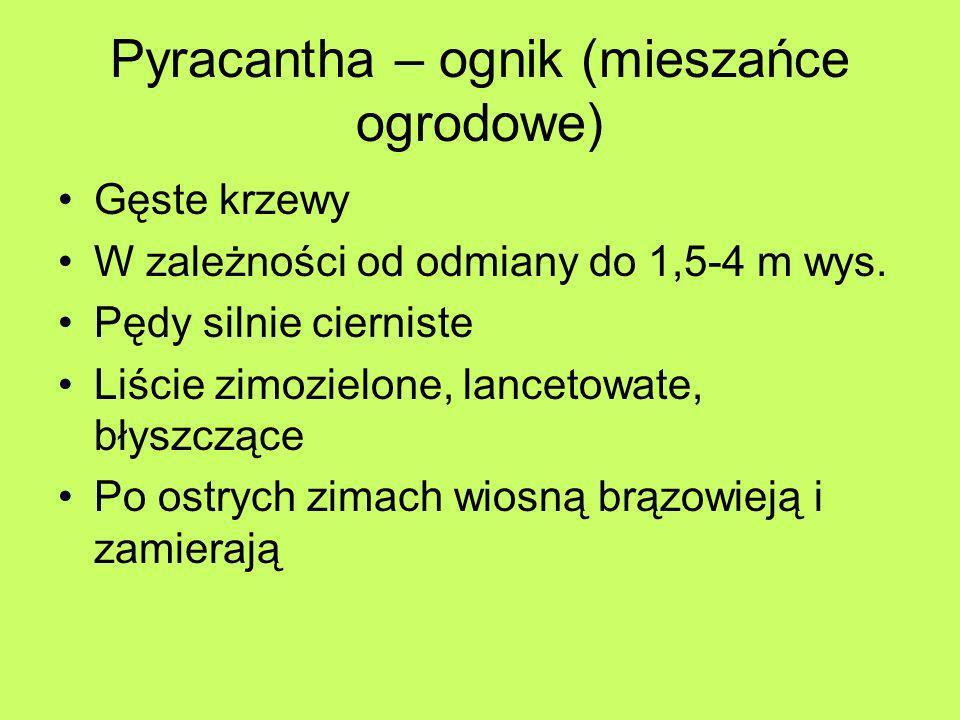 Pyracantha – ognik (mieszańce ogrodowe) Gęste krzewy W zależności od odmiany do 1,5-4 m wys. Pędy silnie cierniste Liście zimozielone, lancetowate, bł