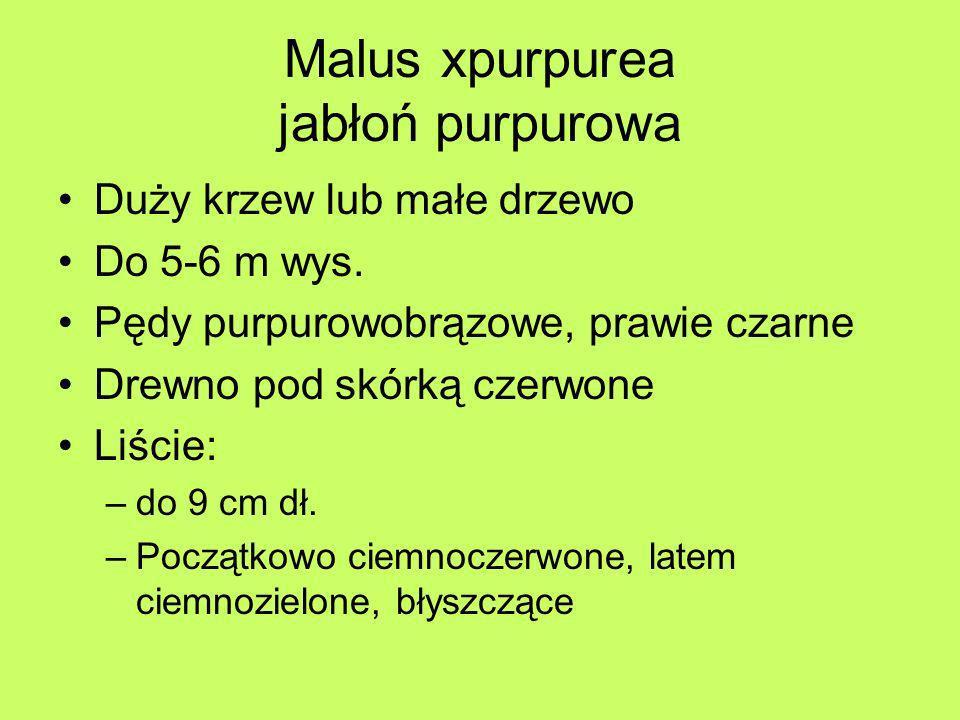 Malus xpurpurea jabłoń purpurowa Duży krzew lub małe drzewo Do 5-6 m wys. Pędy purpurowobrązowe, prawie czarne Drewno pod skórką czerwone Liście: –do