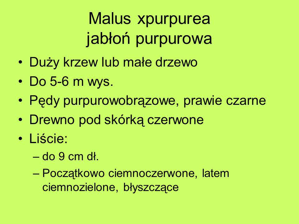 Parthenocissus tricuspidata Veitchii winobluszcz trójklapowy odm.