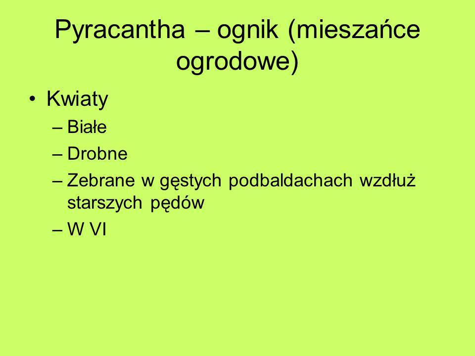 Pyracantha – ognik (mieszańce ogrodowe) Kwiaty –Białe –Drobne –Zebrane w gęstych podbaldachach wzdłuż starszych pędów –W VI