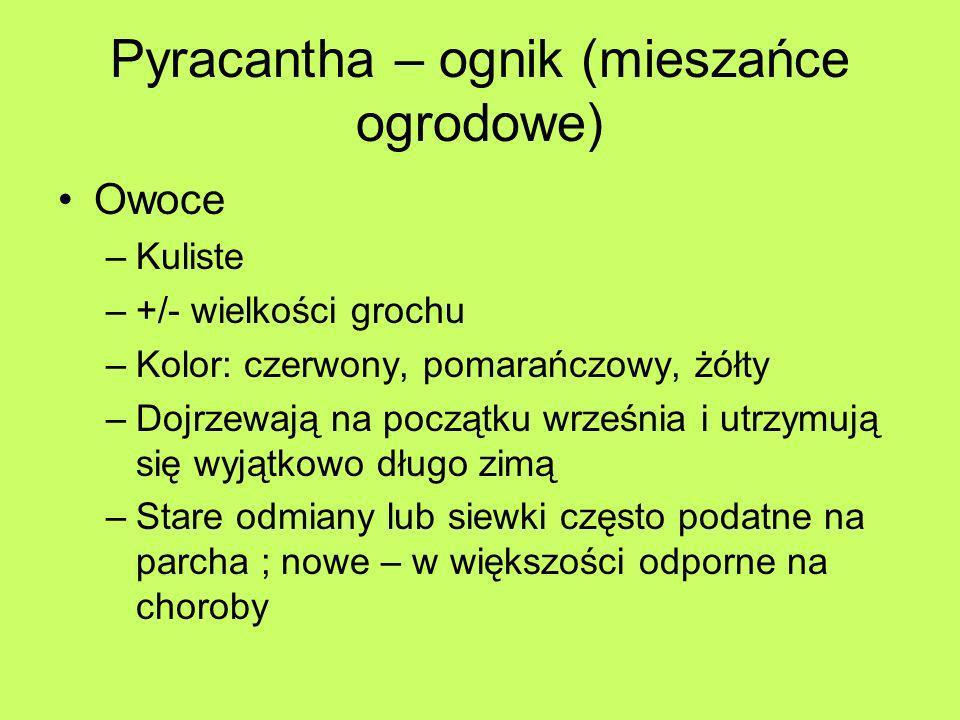 Pyracantha – ognik (mieszańce ogrodowe) Owoce –Kuliste –+/- wielkości grochu –Kolor: czerwony, pomarańczowy, żółty –Dojrzewają na początku września i