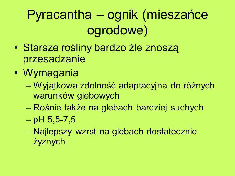 Pyracantha – ognik (mieszańce ogrodowe) Starsze rośliny bardzo źle znoszą przesadzanie Wymagania –Wyjątkowa zdolność adaptacyjna do różnych warunków g