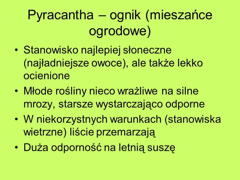 Pyracantha – ognik (mieszańce ogrodowe) Stanowisko najlepiej słoneczne (najładniejsze owoce), ale także lekko ocienione Młode rośliny nieco wrażliwe n
