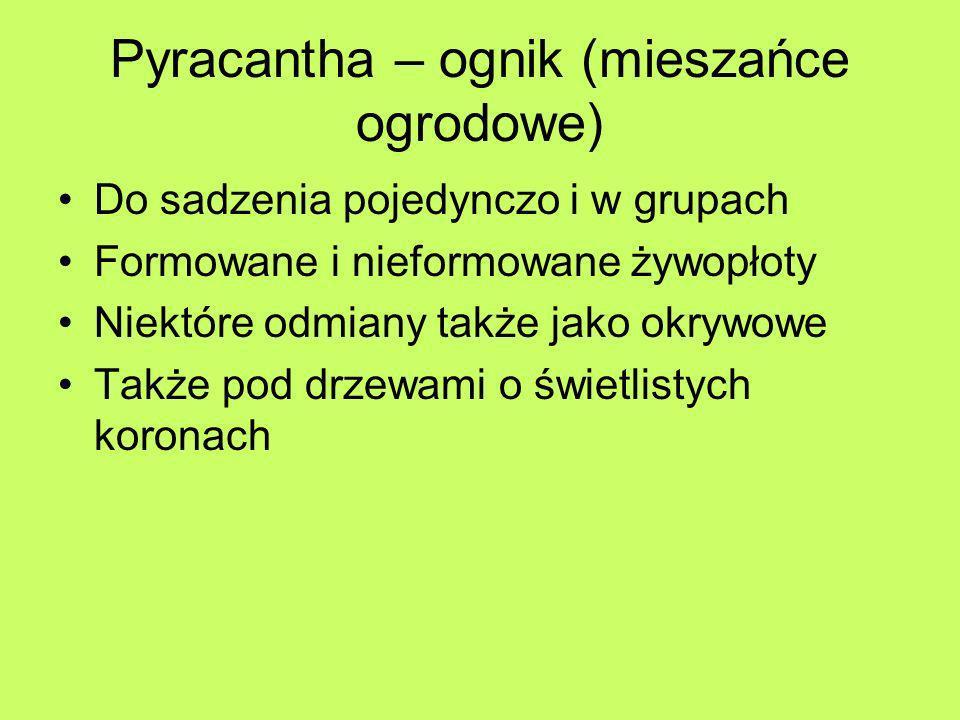 Pyracantha – ognik (mieszańce ogrodowe) Do sadzenia pojedynczo i w grupach Formowane i nieformowane żywopłoty Niektóre odmiany także jako okrywowe Tak