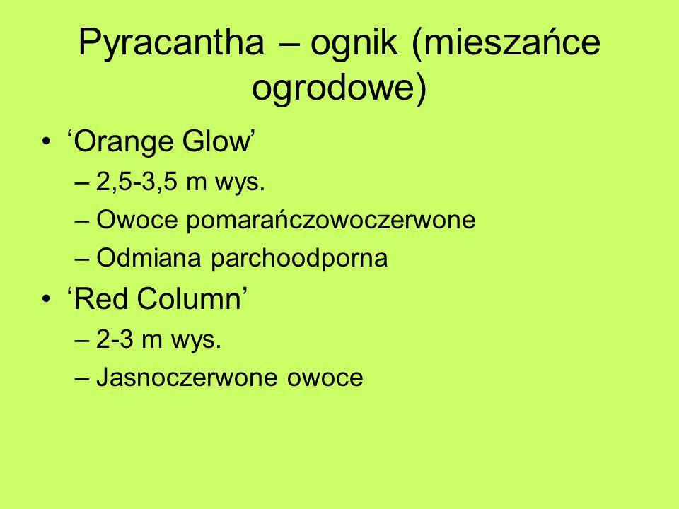 Pyracantha – ognik (mieszańce ogrodowe) Orange Glow –2,5-3,5 m wys. –Owoce pomarańczowoczerwone –Odmiana parchoodporna Red Column –2-3 m wys. –Jasnocz