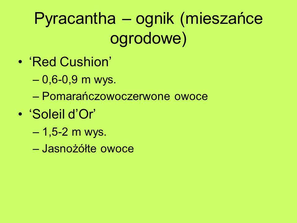 Pyracantha – ognik (mieszańce ogrodowe) Red Cushion –0,6-0,9 m wys. –Pomarańczowoczerwone owoce Soleil dOr –1,5-2 m wys. –Jasnożółte owoce