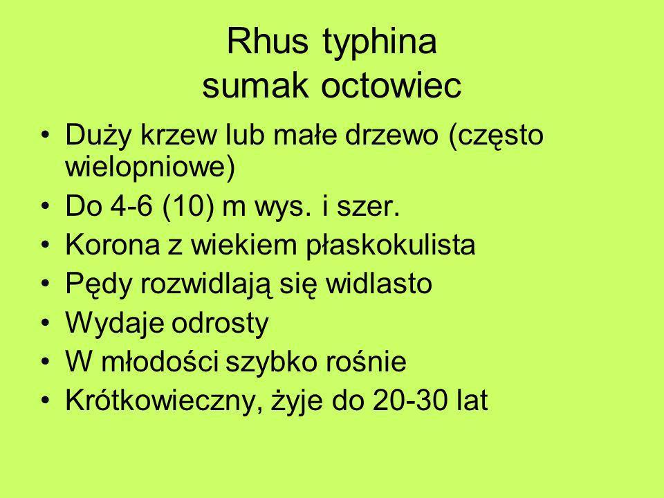 Rhus typhina sumak octowiec Duży krzew lub małe drzewo (często wielopniowe) Do 4-6 (10) m wys. i szer. Korona z wiekiem płaskokulista Pędy rozwidlają