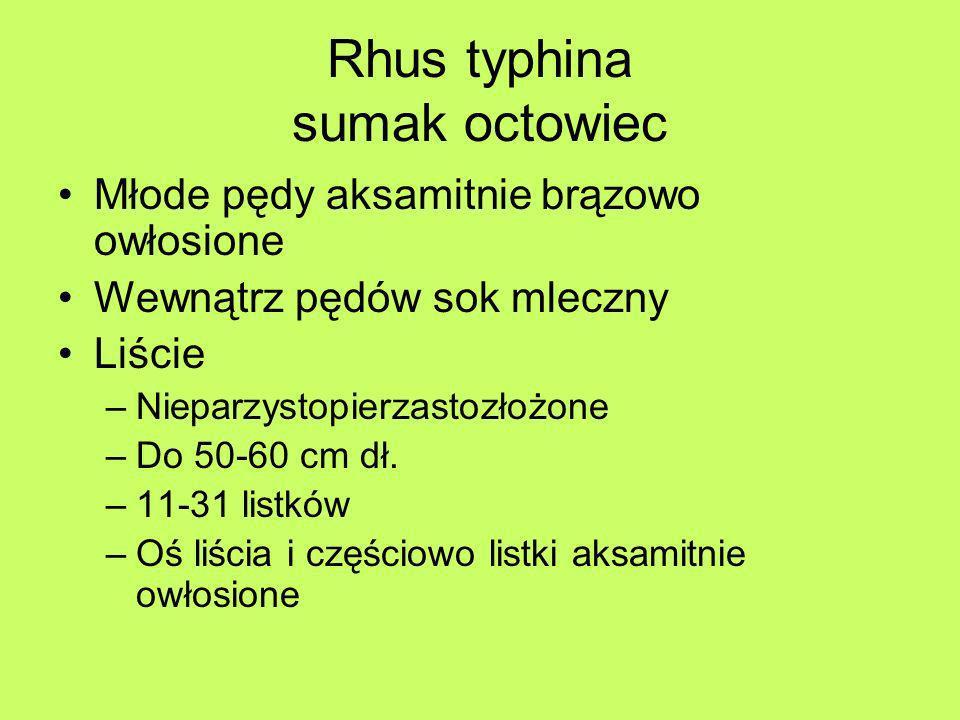 Rhus typhina sumak octowiec Młode pędy aksamitnie brązowo owłosione Wewnątrz pędów sok mleczny Liście –Nieparzystopierzastozłożone –Do 50-60 cm dł. –1