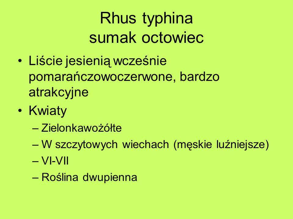 Rhus typhina sumak octowiec Liście jesienią wcześnie pomarańczowoczerwone, bardzo atrakcyjne Kwiaty –Zielonkawożółte –W szczytowych wiechach (męskie l