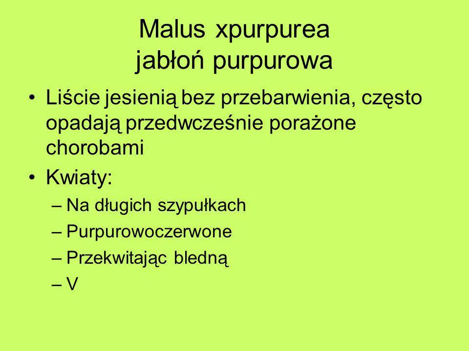 Malus xpurpurea jabłoń purpurowa Liście jesienią bez przebarwienia, często opadają przedwcześnie porażone chorobami Kwiaty: –Na długich szypułkach –Pu