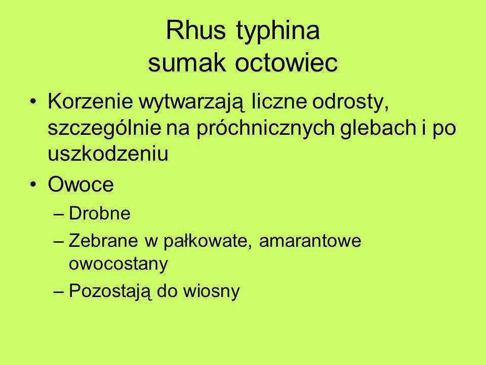Rhus typhina sumak octowiec Korzenie wytwarzają liczne odrosty, szczególnie na próchnicznych glebach i po uszkodzeniu Owoce –Drobne –Zebrane w pałkowa