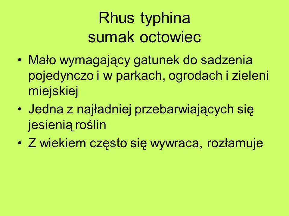 Rhus typhina sumak octowiec Mało wymagający gatunek do sadzenia pojedynczo i w parkach, ogrodach i zieleni miejskiej Jedna z najładniej przebarwiający