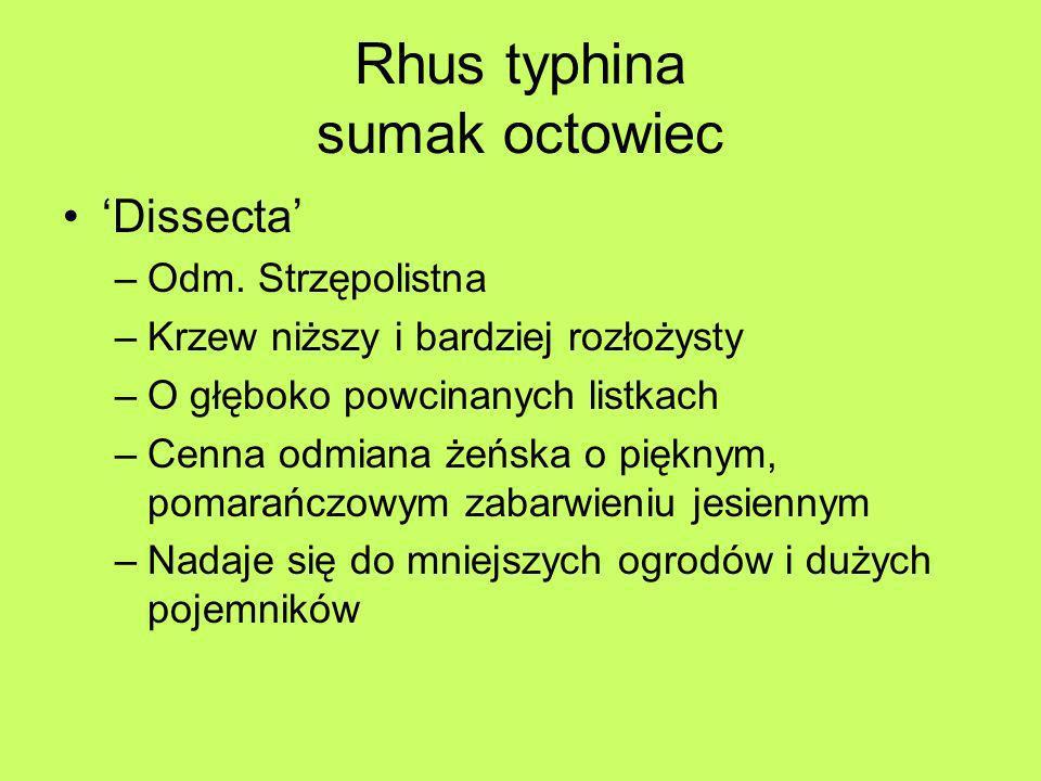 Rhus typhina sumak octowiec Dissecta –Odm. Strzępolistna –Krzew niższy i bardziej rozłożysty –O głęboko powcinanych listkach –Cenna odmiana żeńska o p