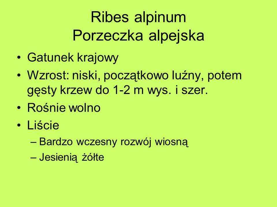 Ribes alpinum Porzeczka alpejska Gatunek krajowy Wzrost: niski, początkowo luźny, potem gęsty krzew do 1-2 m wys. i szer. Rośnie wolno Liście –Bardzo