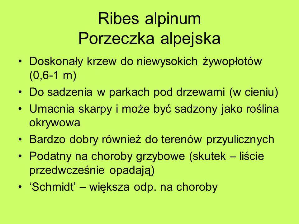 Ribes alpinum Porzeczka alpejska Doskonały krzew do niewysokich żywopłotów (0,6-1 m) Do sadzenia w parkach pod drzewami (w cieniu) Umacnia skarpy i mo