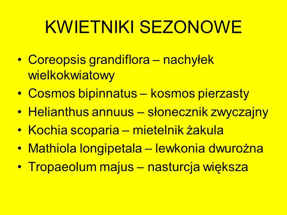 KWIETNIKI SEZONOWE Coreopsis grandiflora – nachyłek wielkokwiatowy Cosmos bipinnatus – kosmos pierzasty Helianthus annuus – słonecznik zwyczajny Kochi