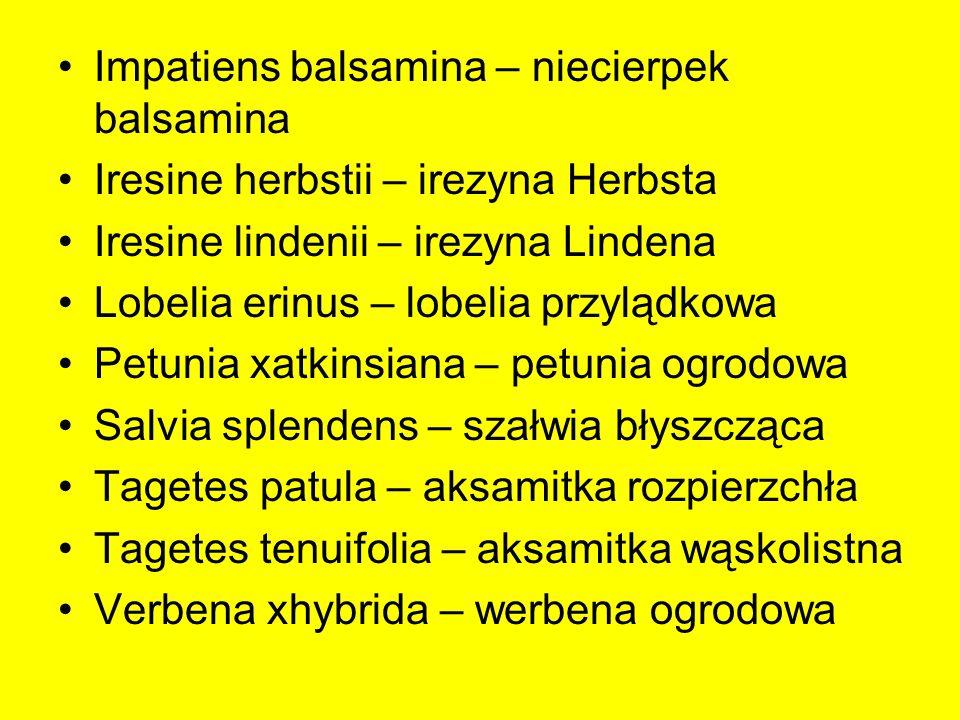 Impatiens balsamina – niecierpek balsamina Iresine herbstii – irezyna Herbsta Iresine lindenii – irezyna Lindena Lobelia erinus – lobelia przylądkowa