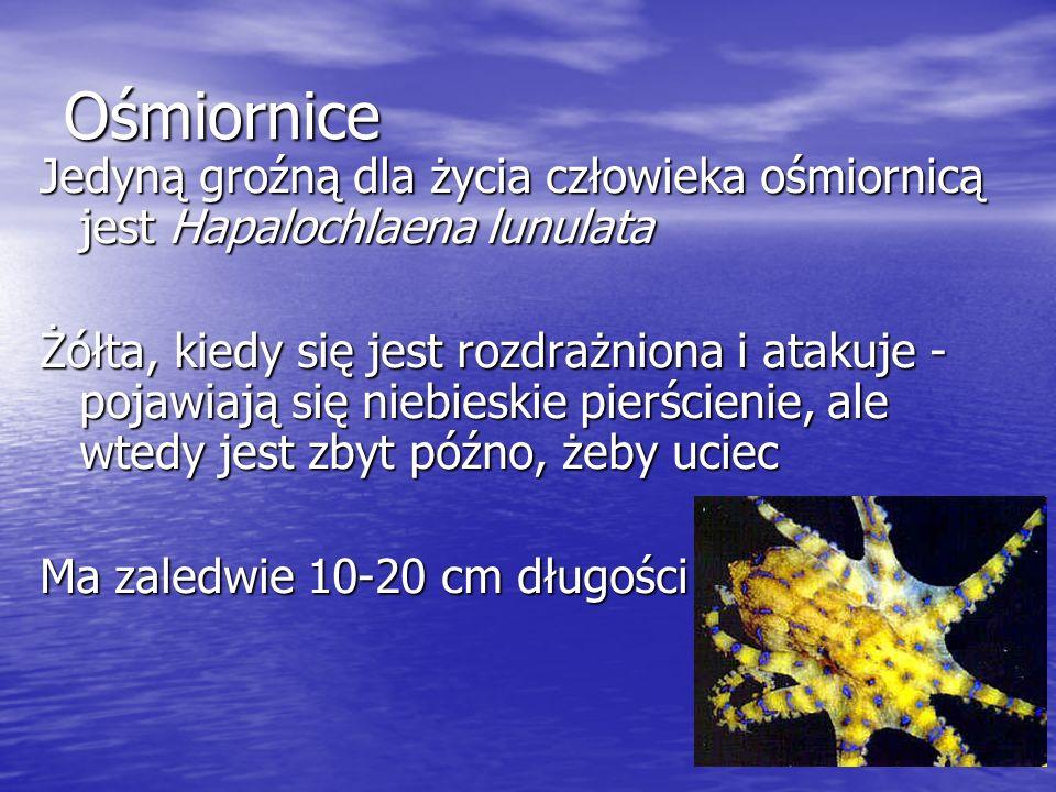 Ośmiornice Jedyną groźną dla życia człowieka ośmiornicą jest Hapalochlaena lunulata Żółta, kiedy się jest rozdrażniona i atakuje - pojawiają się niebi