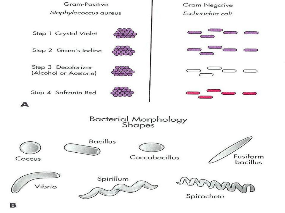 Szczepionki –forma Antybakteryjne żywe osłabione np.przeciw TBC zabite całe np..przeciwkokluszowi w fragmenty np.przeciwkokluszowi a otoczki polisacharydowe (ana)toksyny np..przeciw tężcowi