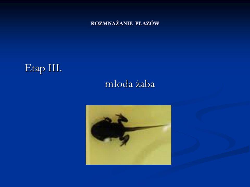 ROZMNAŻANIE PŁAZÓW Etap III. młoda żaba