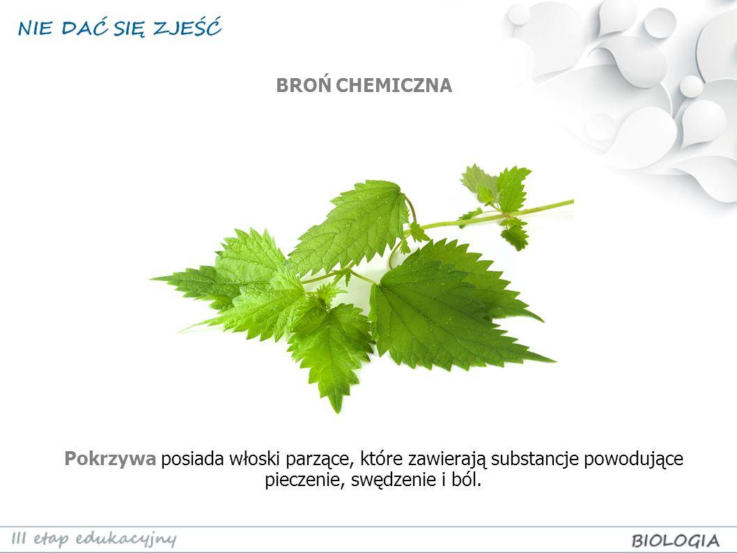 Pokrzywa posiada włoski parzące, które zawierają substancje powodujące pieczenie, swędzenie i ból. BROŃ CHEMICZNA