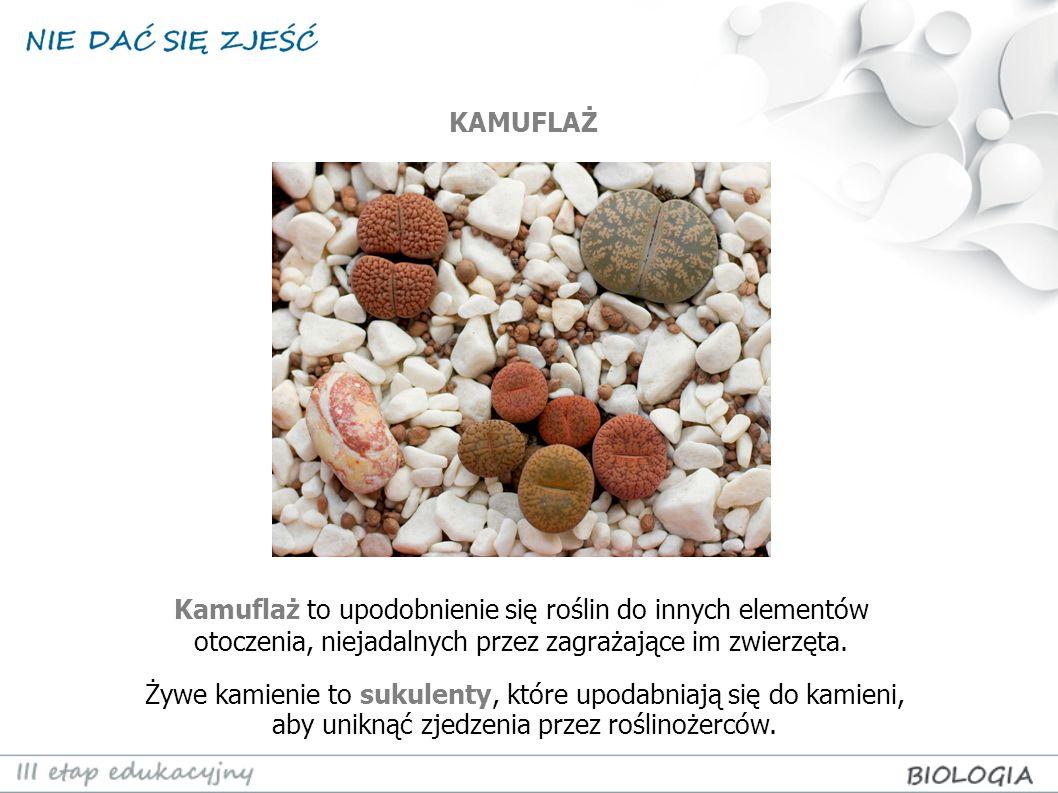 Kamuflaż to upodobnienie się roślin do innych elementów otoczenia, niejadalnych przez zagrażające im zwierzęta. Żywe kamienie to sukulenty, które upod