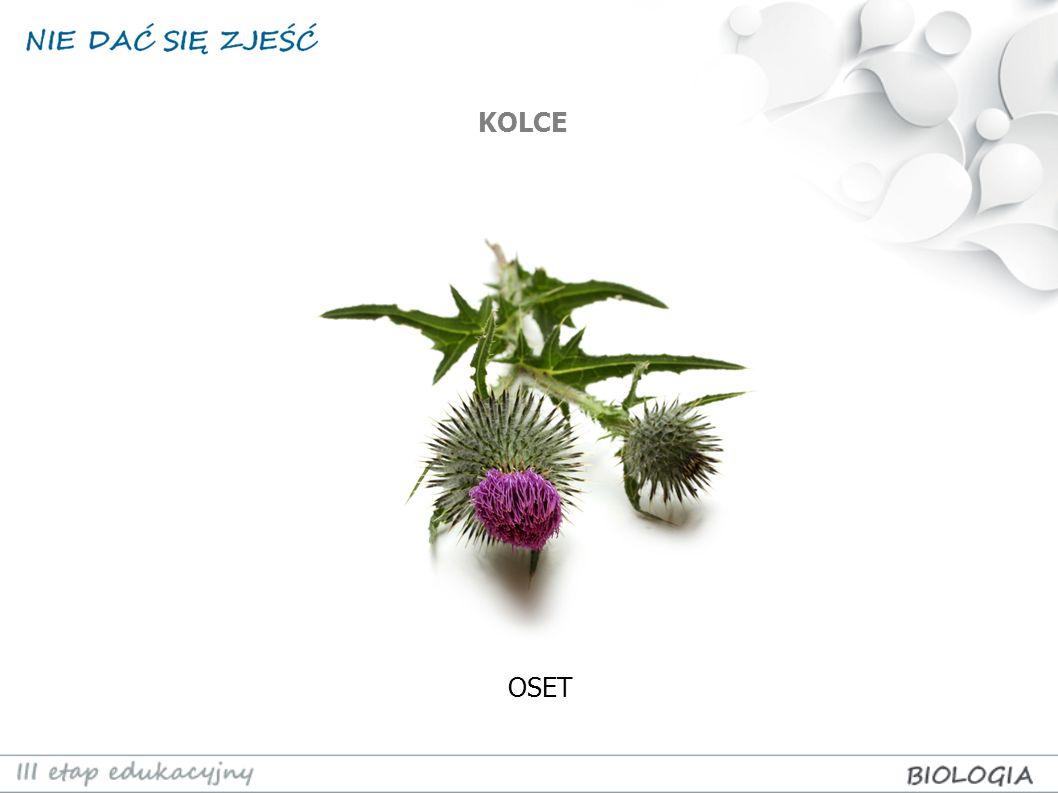 Kamuflaż to upodobnienie się roślin do innych elementów otoczenia, niejadalnych przez zagrażające im zwierzęta.