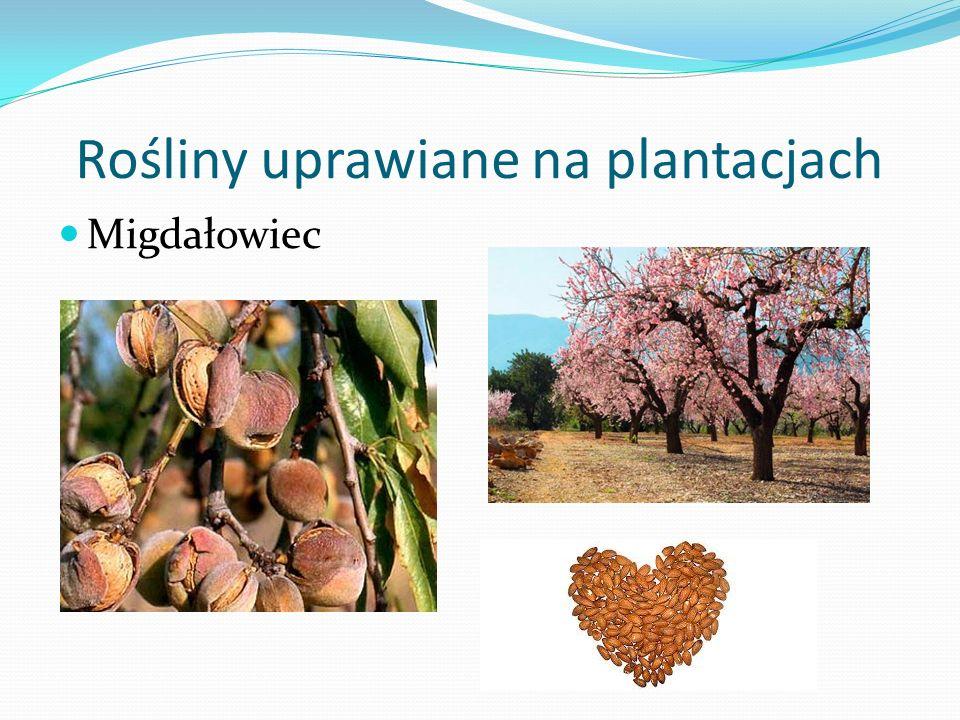 Rośliny uprawiane na plantacjach Migdałowiec