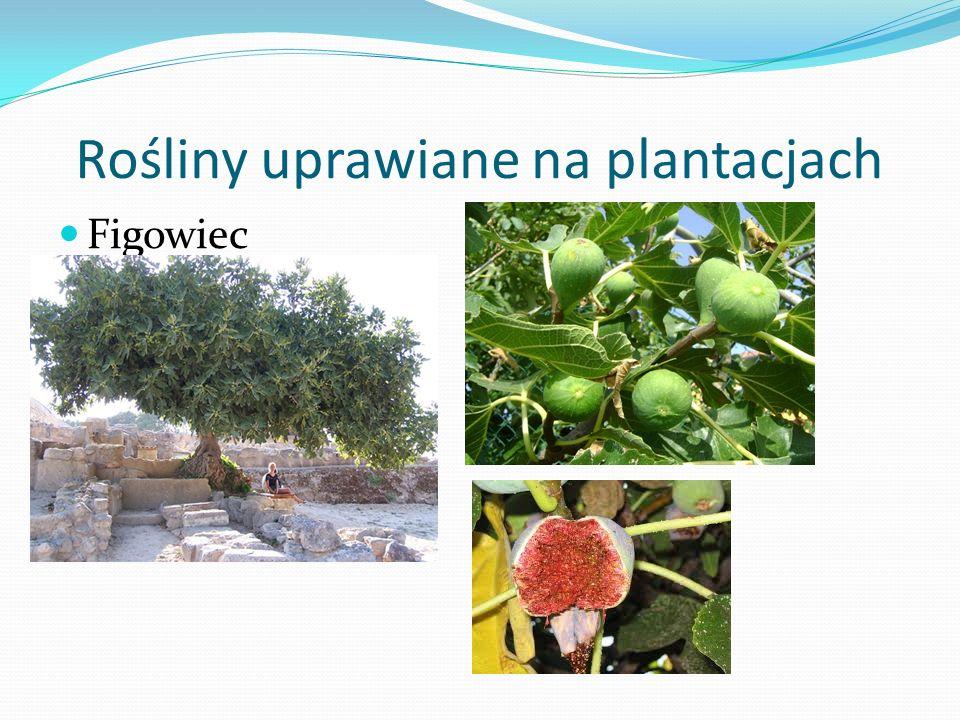 Rośliny uprawiane na plantacjach Figowiec