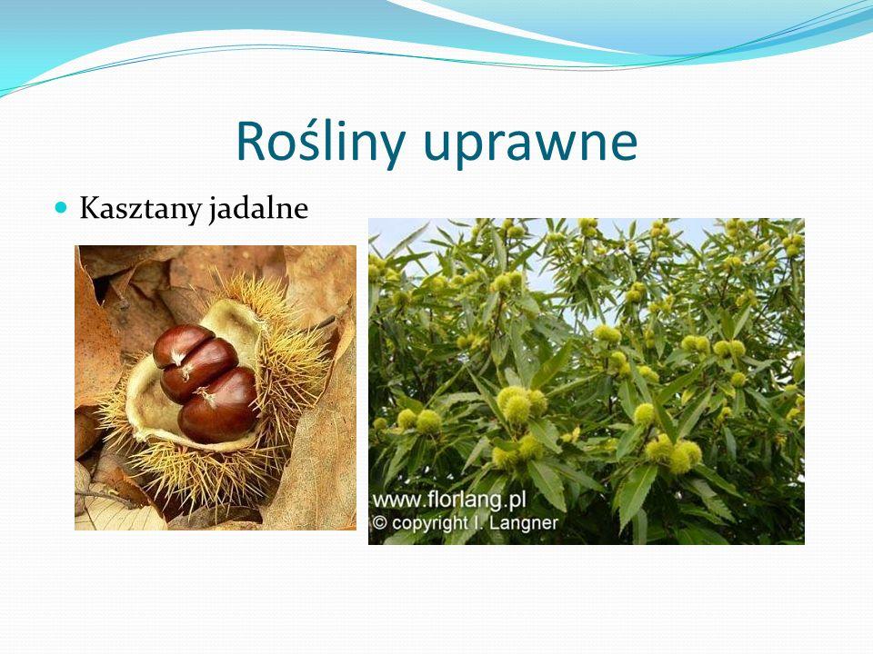 Rośliny uprawne Kasztany jadalne