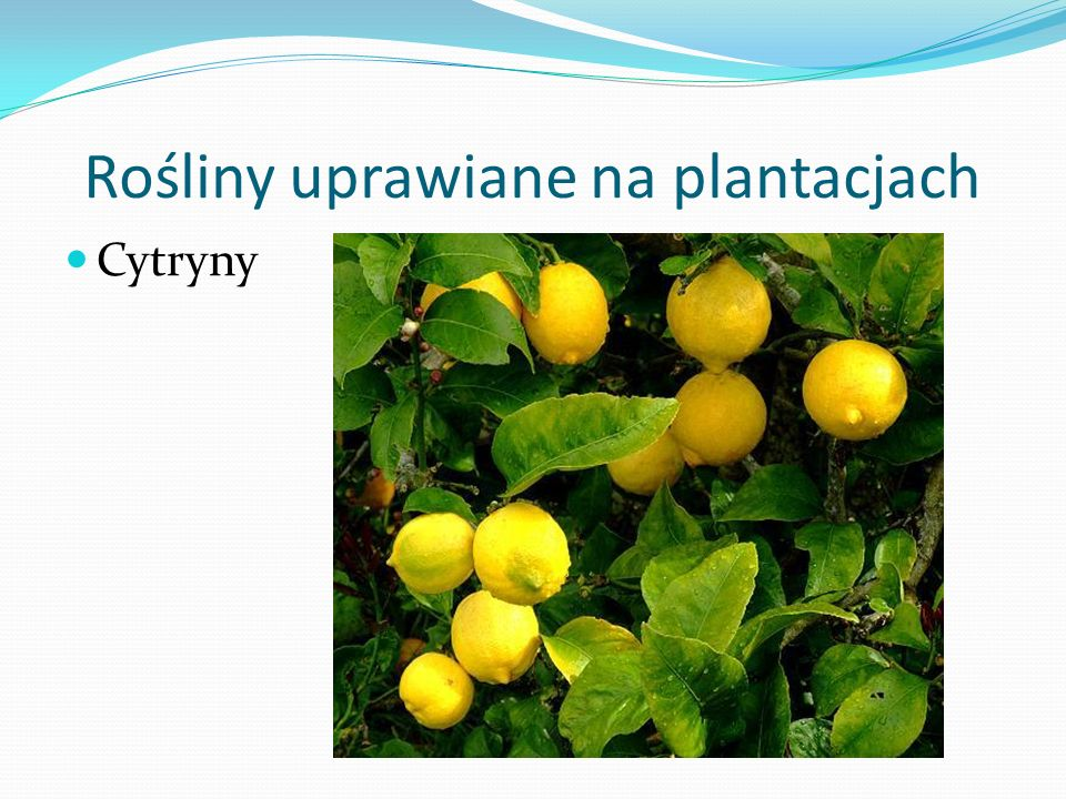 Rośliny uprawiane na plantacjach Cytryny