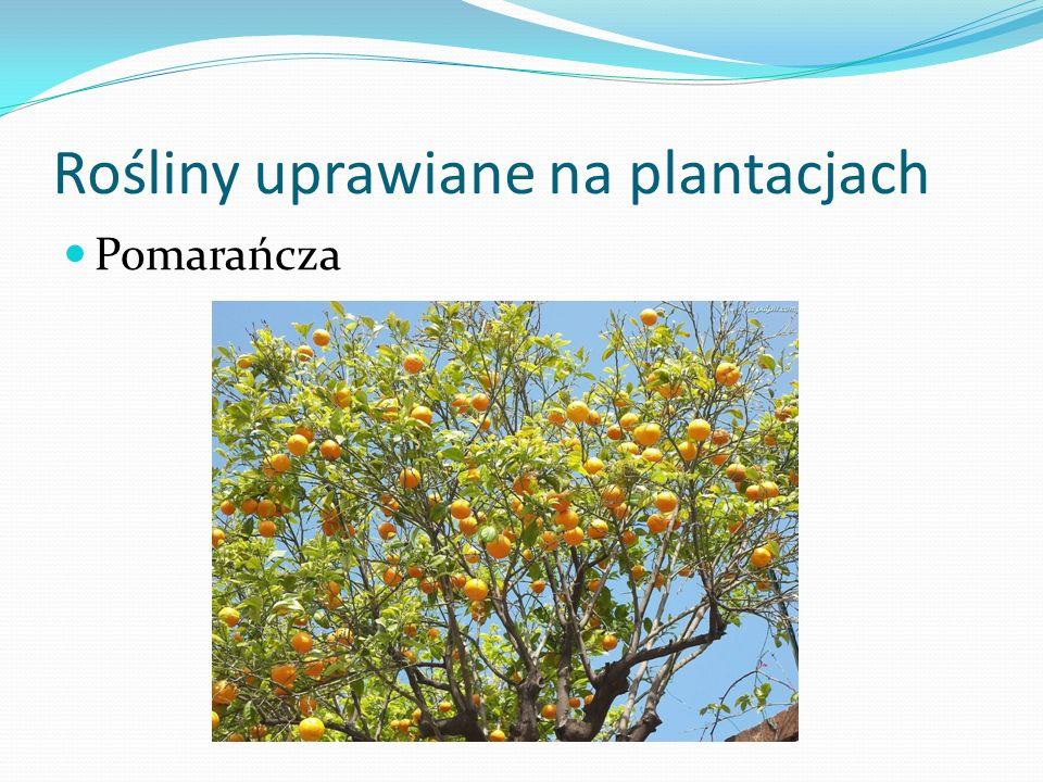 Rośliny uprawiane na plantacjach Pomarańcza
