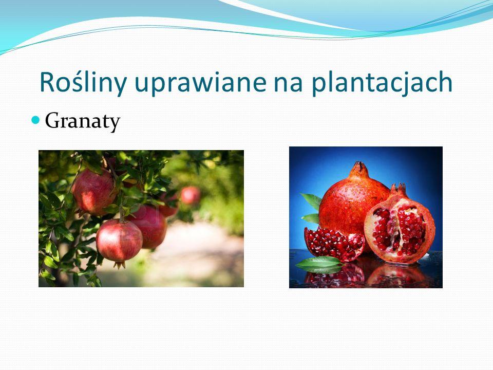 Rośliny uprawiane na plantacjach Granaty