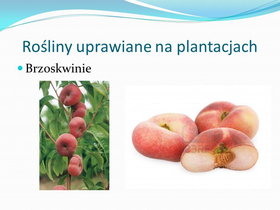 Rośliny uprawiane na plantacjach Brzoskwinie