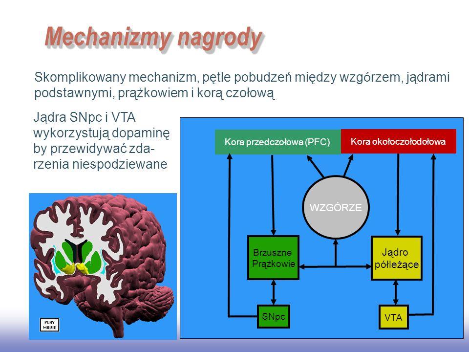 EE141 29 Mechanizmy nagrody Skomplikowany mechanizm, pętle pobudzeń między wzg ó rzem, jądrami podstawnymi, prążkowiem i korą czołową. Kora przedczoło