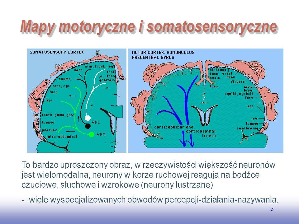 EE141 6 Mapy motoryczne i somatosensoryczne To bardzo uproszczony obraz, w rzeczywistości większość neuronów jest wielomodalna, neurony w korze ruchow