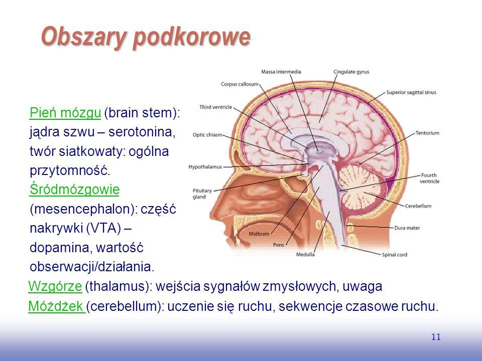 EE141 11 Obszary podkorowe Pień mózguPień mózgu (brain stem): jądra szwu – serotonina, twór siatkowaty: ogólna przytomność. Śródmózgowie (mesencephalo