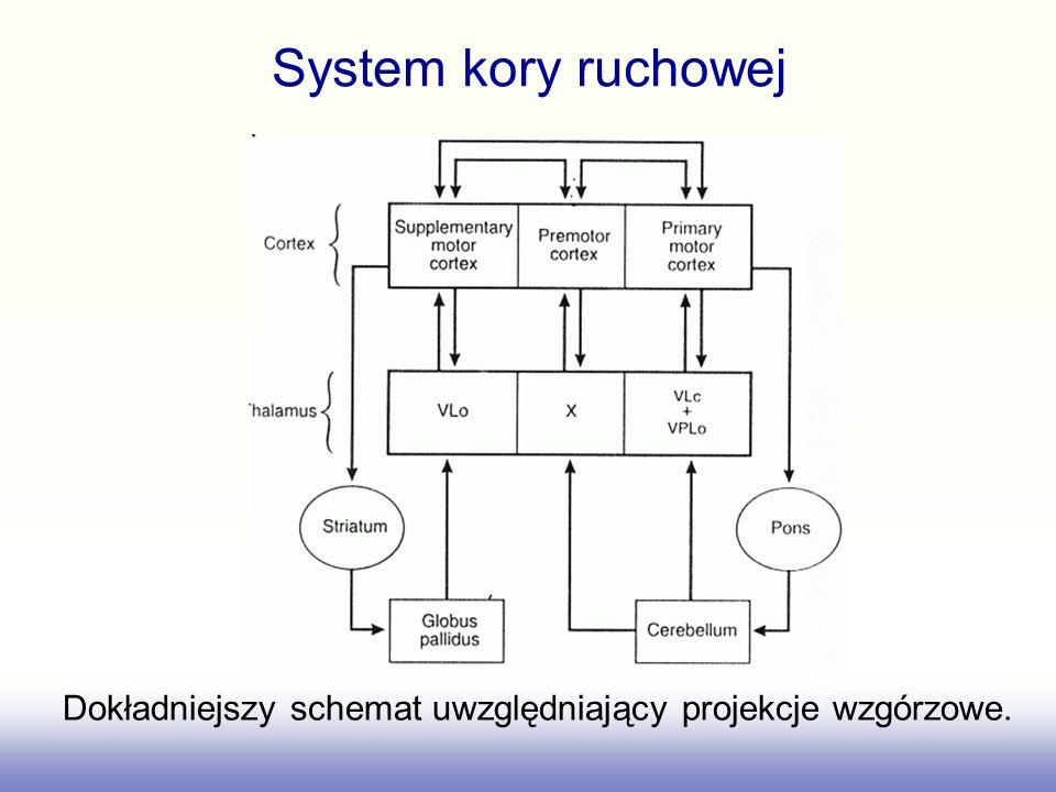 System kory ruchowej Dokładniejszy schemat uwzględniający projekcje wzgórzowe.