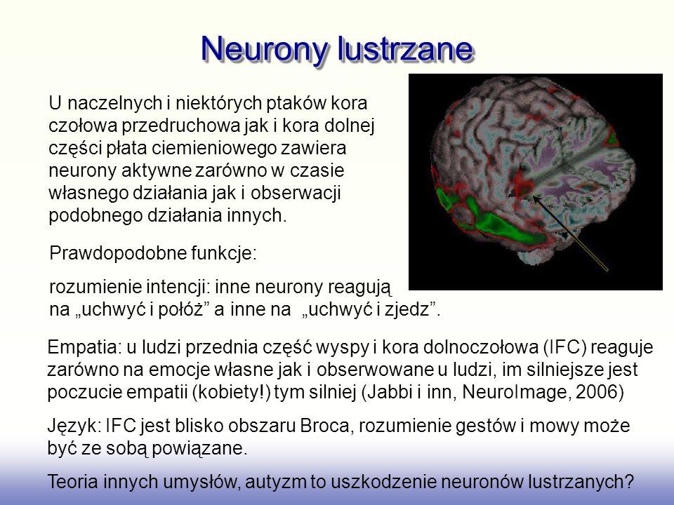 Neurony lustrzane U naczelnych i niektórych ptaków kora czołowa przedruchowa jak i kora dolnej części płata ciemieniowego zawiera neurony aktywne zaró