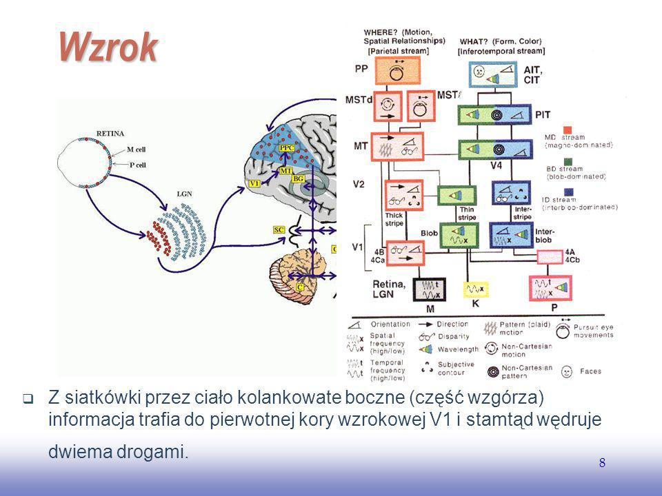 EE141 8 Wzrok Z siatkówki przez ciało kolankowate boczne (część wzgórza) informacja trafia do pierwotnej kory wzrokowej V1 i stamtąd wędruje dwiema drogami.