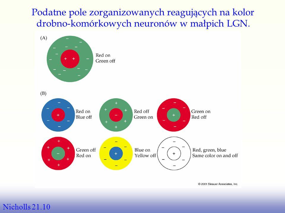 Jak następuje wzbudzenie Brak bodźców: –Oba na poziomie bazowym Stymulacja w centrum: –ON-centrum-OFF- otoczenie jest gwałtownie wzbudzone –OFF-centru