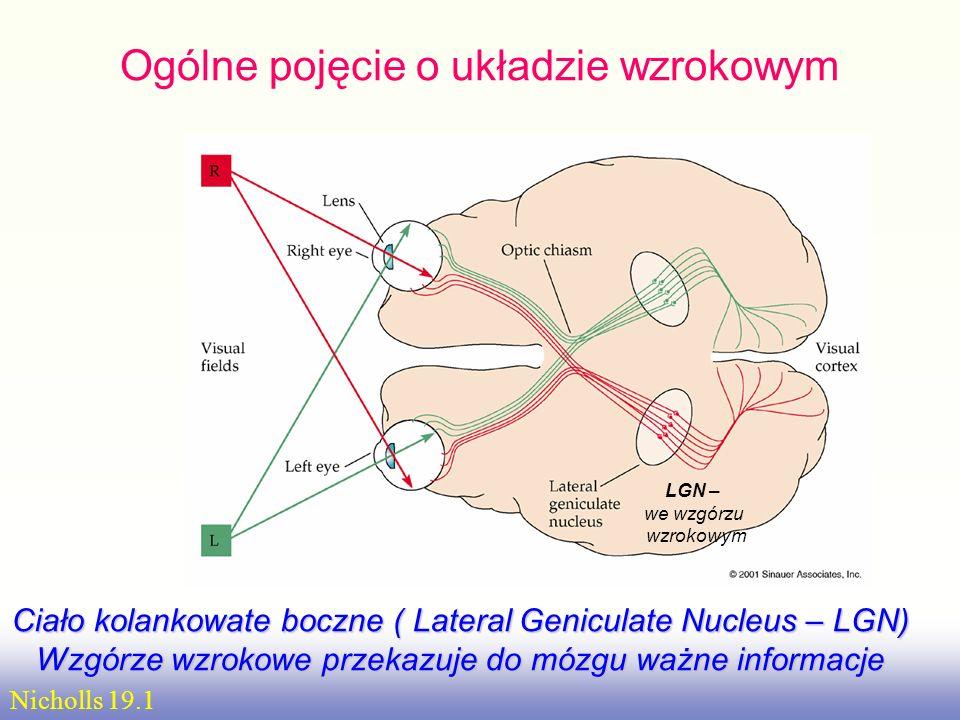 Szlaki wzrokoweSzlaki wzrokowe: siatkówka => ciało kolankowate boczne wzgórza => promienistość wzrokowa => obszar pierwotnej kory wzrokowej V1 => wyżs