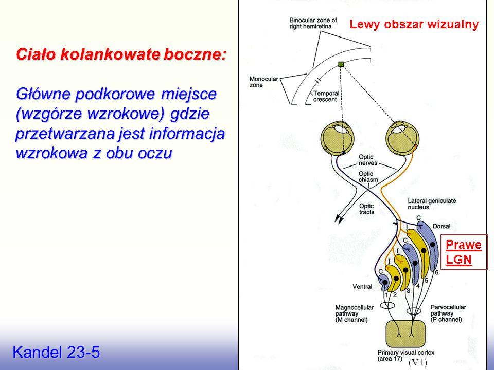 Nicholls 19.1 LGN – we wzgórzu wzrokowym Ciało kolankowate boczne ( Lateral Geniculate Nucleus – LGN) Wzgórze wzrokowe przekazuje do mózgu ważne infor