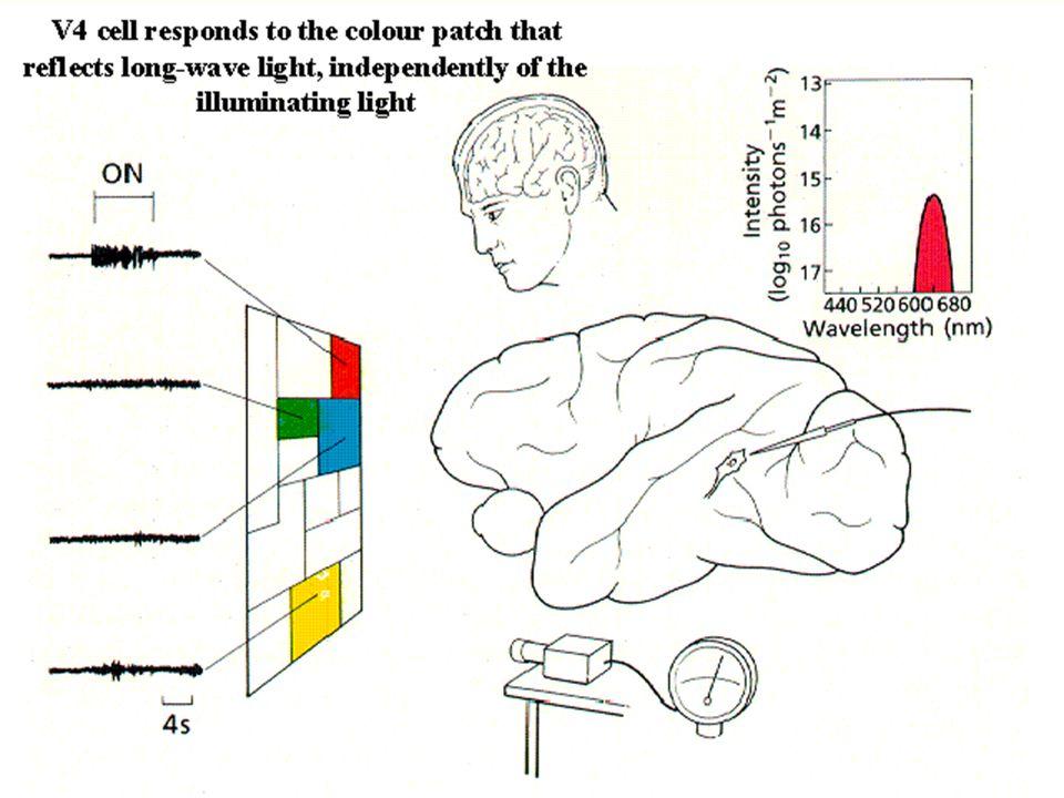 Szlak drobnokomórkowy ma 4 warstwy w LGN, –duża rozdzielczość przestrzenna, kolor, wolniejszy przesył informacji, niska wrażliwość na kontrast. –Ta in