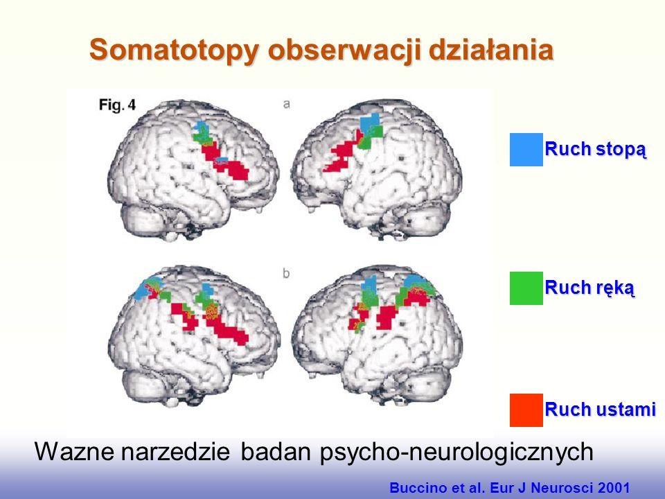 Analiza fMRI procesu rozpoznawania twarzy. Widać wyraźną lokalizację aktywności w prawej półkuli, w zakręcie dolno-skroniowym (IT) Rozpoznawanie twarz