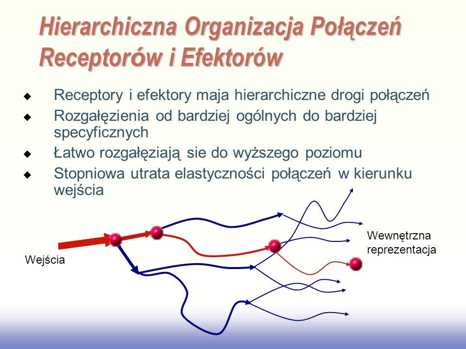 EE141 Hierarchiczna Organizacja Połączeń Receptor ó w i Efektorów Receptory i efektory maja hierarchiczne drogi połączeń Rozgałęzienia od bardziej ogólnych do bardziej specyficznych Łatwo rozgałęziają sie do wyższego poziomu Stopniowa utrata elastyczności połączeń w kierunku wejścia Wejścia Wewnętrzna reprezentacja
