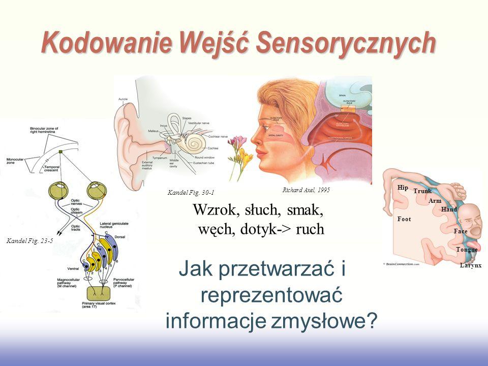 EE141 Kandel Fig. 23-5 Kodowanie Wejść Sensorycznych Jak przetwarzać i reprezentować informacje zmysłowe? Richard Axel, 1995 Foot Hip Trunk Arm Hand F